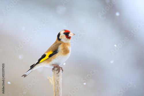 Fototapeta small bird European goldfinch in winter