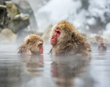 Mom And Baby Japanese Macaque ...