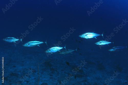 Tuna fish underwater in ocean Wallpaper Mural