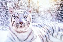 Portrait D'un Tigre Blanc Dans La Forêt Enneigée