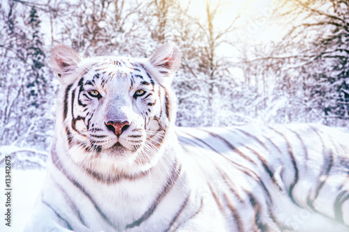 Photo sur Toile Tigre Portrait d'un tigre blanc dans la forêt enneigée
