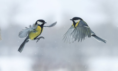 Two titmouses flying toward each other in winter Park