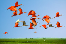 Flock Of Scarlet And White Ibi...