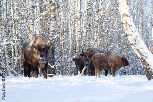 Vászonkép  Wisents in winter birch forest