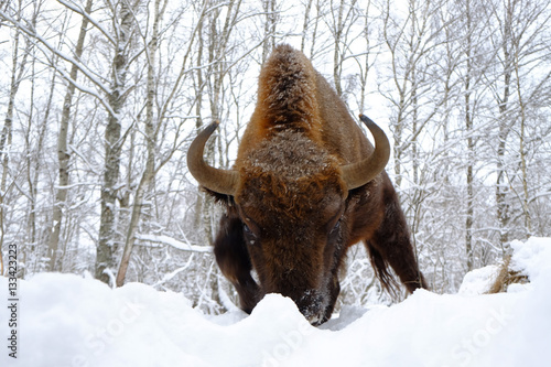 Fényképezés  Front close view of assault European bison