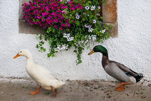 Two Ducks Waddling In Front Of A House - Window Decorated With Pink Summer Flowers
