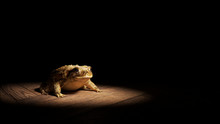 Common Toad Sitting On A Woode...