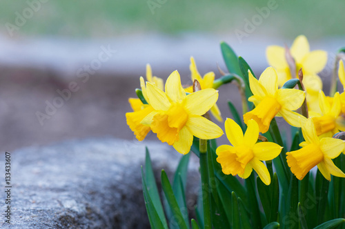 Cadres-photo bureau Narcisse yellow narcissus flowerbed