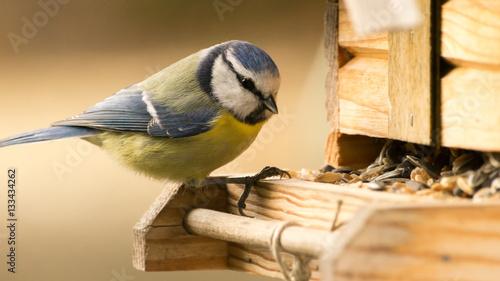 Blaumeise an einem Vogelhaus Fototapete