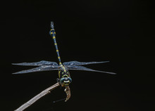 Clubtail Dragonfly(Ictinogomph...