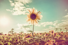 One Sunflower Rising Above The...