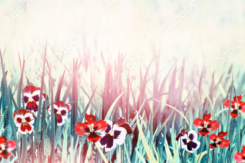 kwiaty-bratek