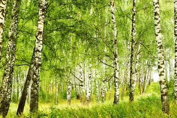Obraz na Szkle Do jadalni summer in sunny birch forest