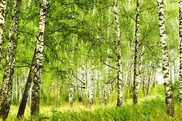 Fototapeta Do jadalni summer in sunny birch forest