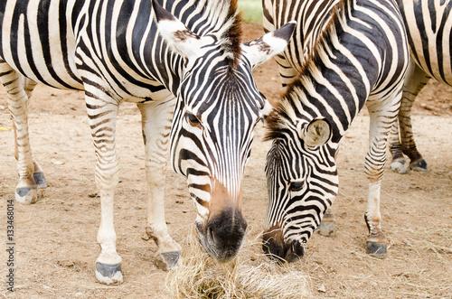 Photo Stands Zebra Zebra eating hay in a zoo