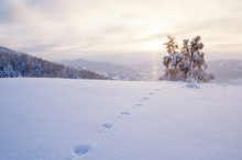 Winter Sunset Snow Field With Hare Trail Traces On The Background Of Frozen Birch Tree On Top Of Mountain