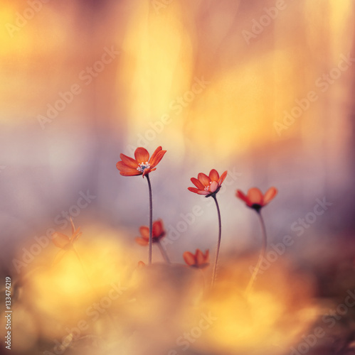Deurstickers Poppy Spring forest flowers primroses on beautiful soft golden blurred background macro. Spring floral background for wallpaper card design. Graceful gentle charming sweet sunny artistic image.
