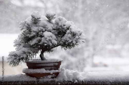 Snow covered bonsai tree