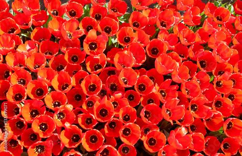 Cadres-photo bureau Poppy background of tulips growing in garden