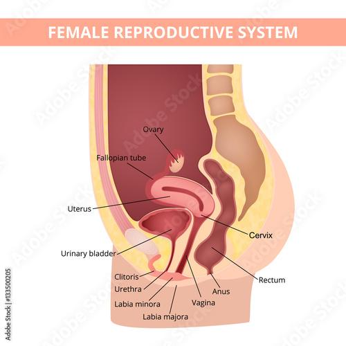 reproductive system – kaufen Sie diese Vektorgrafik und finden Sie ...