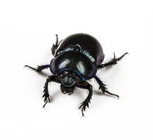 Dung Beetle Violet Black On White Background