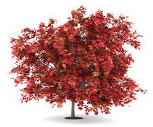 Japanese Maple Tree Isolated O...