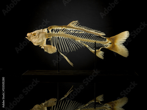 Taxidermy skeleton of fish against black