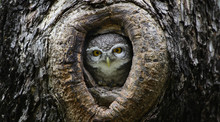 Bird, Owl, Spotted Owlet (Athe...