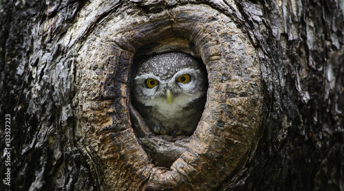Papiers peints Chouette Bird, Owl, Spotted owlet (Athene brama) in tree hollow,Bird of T