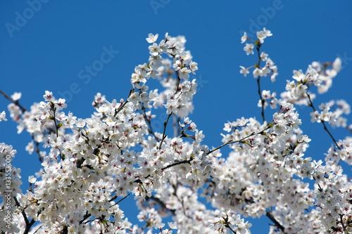 Foto op Plexiglas Magnolia blossoms
