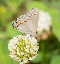 Tiny Gray Hairstreak Butterfly Feeding On A White Clover Flower