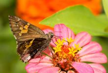 Hoary Edge Butterfly Feeding O...