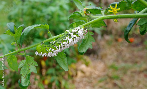 A Disabled Tomato / Tobacco Hornworm as host to parasitic braconid wasp eggs.  This horn worm is hanging upside down on a tomato plant stem. Green foliage and yellow tomato blossoms visible.