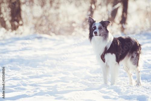 Fotografia Border Collie im Schnee