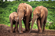 African Elephant Family