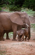 African Elephant Mom and Calf