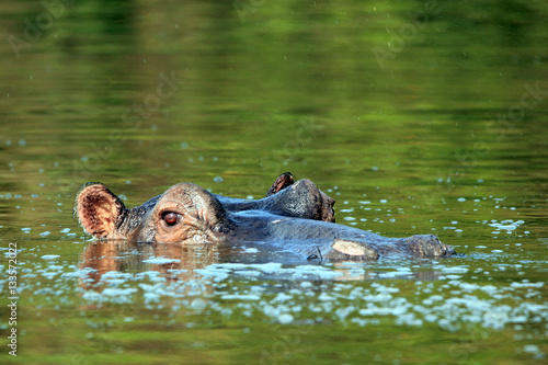 Hippopotamus (Hippopotamus Amphibius) in the Water, looking over the Surface. Lake Mburo, Uganda