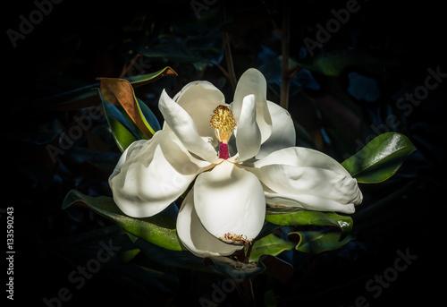 Magnolia magnolia flower close up against a dark blue green background