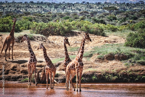 Giraffes in River Poster