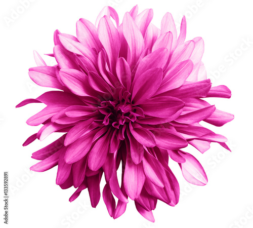 Staande foto Roze pink flower on a white background isolated with clipping path. Closeup. big shaggy flower. for design. Dahlia.