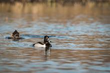 Ring-necked Duck - Aythya Collaris Male