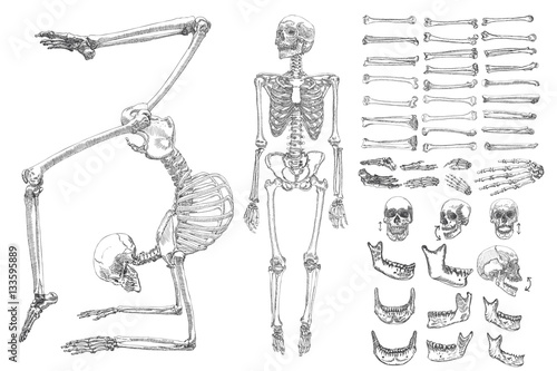Tela Human anatomy drawing monochrome set with skeletons and single bones isolated on white background