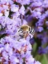White-banded Digger Bee Amegil...