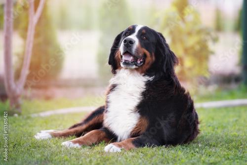 Deurstickers Franse bulldog bernese mountain dog posing outdoors