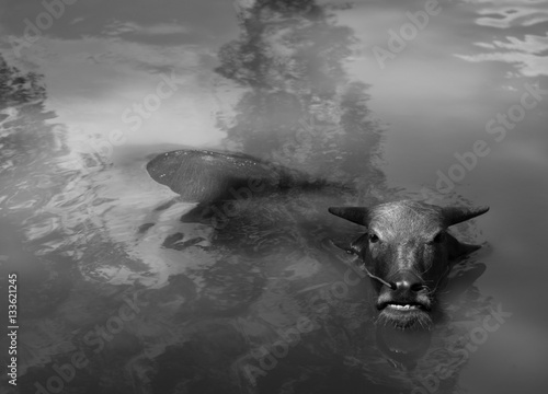 Poster Rhino WATER BUFFALO WALLOWING IN WATER