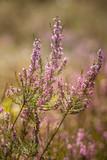 Piękny purpurowy calluna kwitnie na naturalnym tle w lecie - 133623677