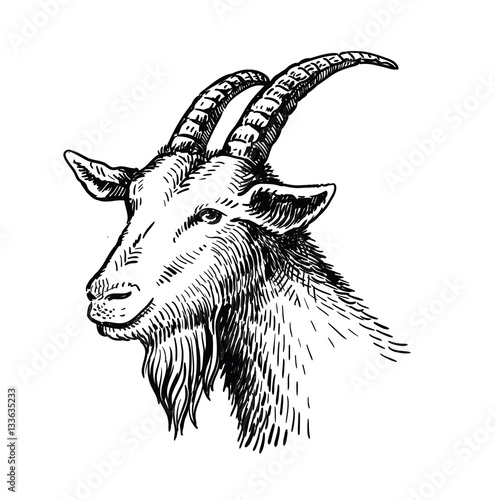 vector head of goat Tapéta, Fotótapéta