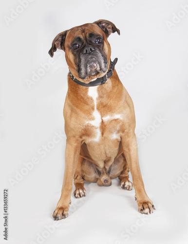 Perro Boxer En Estudioi Buy This Stock Photo And Explore Similar