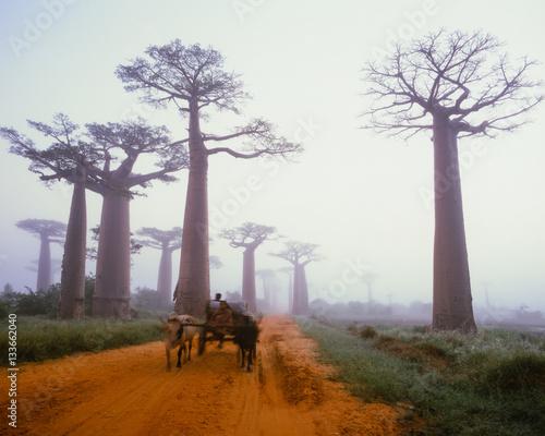 In de dag Baobab Baobab avenue - Morondava - Madagascar