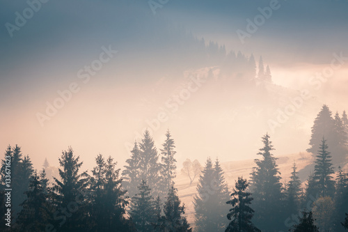 Wide panorama of foggy mountain range in sunrise beams. Morning sun rays through the fog over mountain slopes, covered with spruce forest..